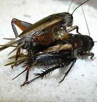 Common Crickets | NY Worms